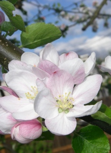 Apple blossoms in Eugene